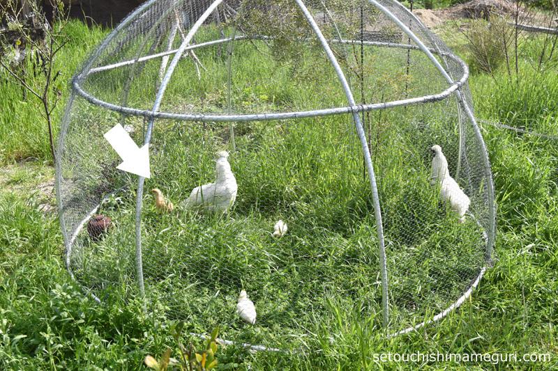 犬島【犬島 くらしの植物園】名古屋コーチンのヒナを育てる烏骨鶏