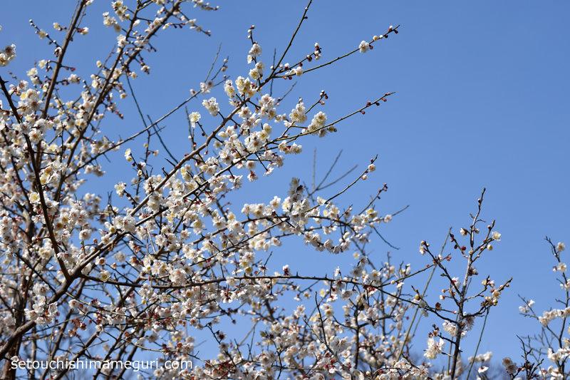 男木島 2月は梅が咲いている