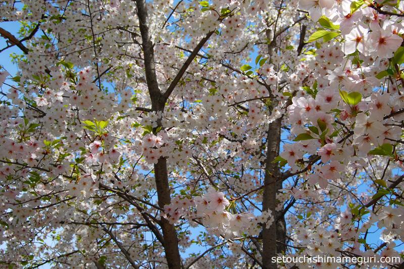 沙弥島 白石古墳広場の桜