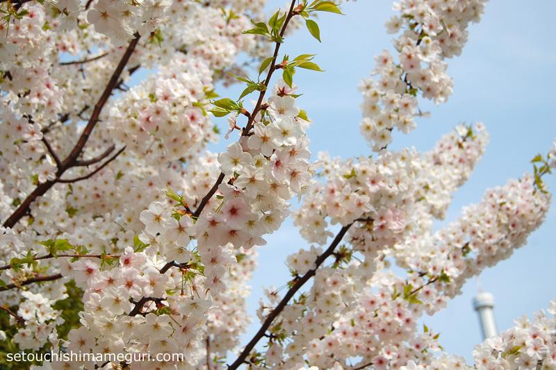 沙弥島 桜